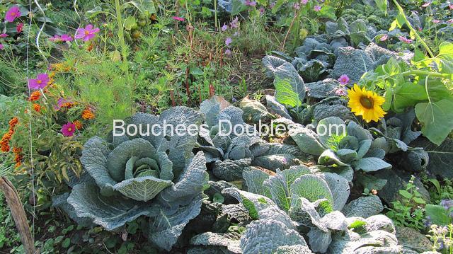 Choux verts dans un jardin
